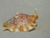 Strombus Aratrum. Euprotomus aurisdianae, common name the Diana conch, is a species of small to medium-sized sea snail, a marine gastropod mollusk in the family Royalty Free Stock Photo
