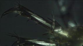 Stromende hemolymph wordt gezien in de benen van een amphipod stock video