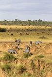 Stromy spadek rzeka Zebry blisko Mara rzeki Kenja, Afryka Zdjęcia Royalty Free