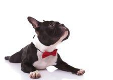 Strona francuskiego buldoga szczeniak jest ubranym łęku krawata przyglądający up Obrazy Royalty Free
