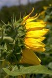Strona gigantyczni słoneczniki zdjęcia stock