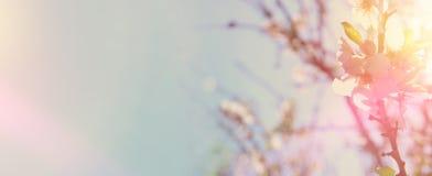 strona internetowa sztandaru tło wiosen biali czereśniowi okwitnięcia drzewni Selekcyjna ostrość Zdjęcie Stock