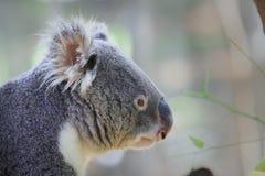 Strona koala& x27; s twarz Zdjęcie Stock