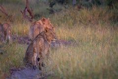 Strona profile grupa lwy obrazy royalty free