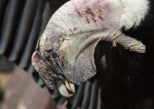 Strona strzał andyjski kondor z otwartymi skrzydłami Fotografia Stock
