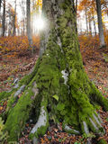 Strong. Old tree covered in green moss Royalty Free Stock Photography