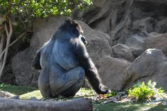 Strong Adult Black Gorilla. On the Green Floor Stock Images