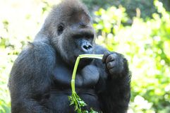 Strong Adult Black Gorilla Stock Images