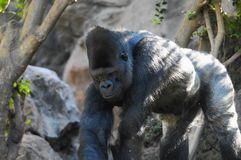 Strong Adult Black Gorilla. On the Green Floor Royalty Free Stock Photography