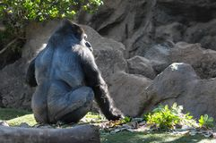 Strong Adult Black Gorilla. On the Green Floor Royalty Free Stock Photos