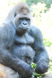 Strong Adult Black Gorilla Stock Photo