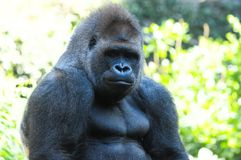 Strong Adult Black Gorilla Stock Image