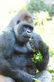 Strong Adult Black Gorilla Stock Photography
