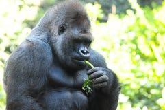 Strong Adult Black Gorilla Stock Photos