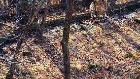 Strong amur tiger is hunting for deers in cages in Primorsky Safari Park, Russia. Strong beautiful female amur or ussuri tiger is hunting for deers in cages in stock video