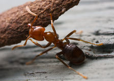 Strong ant Royalty Free Stock Images