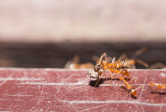 Strong ant carry food Royalty Free Stock Images