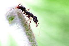 A strong ant on the green plant. A black and strong ant with a green plant Royalty Free Stock Image