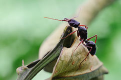 A strong ant on the leaves. A black and strong ant on the leaves Stock Images