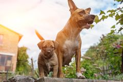 Strong and beautiful American staffordshire terrier and a puppy royalty free stock photo