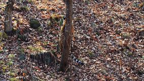 Strong female amur or ussuri tiger is hunting in Primorsky Safari Park, Russia. Strong beautiful female amur or ussuri tiger is hunting in autumn Primorsky stock video