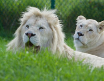 Strong beautiful white lions couple Stock Photo