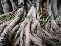 Strong big roots of old tree. Strong big roots of an old tree Royalty Free Stock Photos