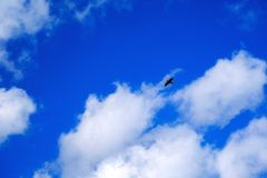 Strong bird in the sky. High quality photo of a strong bird in the sky: you may see some large wild bird with massive wing, beak and tail. Clear deep vlue sky stock photos