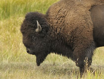 Strong Bison. Bison wandering the valley profile stock photography