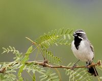Black-throated sparrow perched on branch royalty free stock photography
