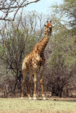 Strong Bodied Giraffe standing next to trees Stock Images