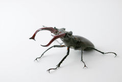 Strong Bug Lucanus Cervus. A closeup photo of a strong Lucanus Cervus ready to fight, showing his strenght Stock Photos