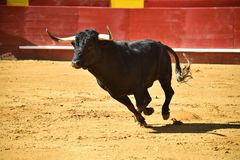Strong bull in the bullring with big horns stock photos