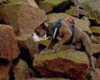 A strong Bulldog at strong rock. A strong Bulldog works its way through hard rock stock images