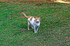 Strong cat on grass with a silver line on her fur. Cat color white and orenge. looking at the camera cat has green eyes, pink nose, zigzag tail color pattern Stock Photo
