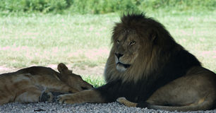 The strong confident lion Stock Photography