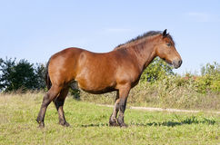 Strong country working horse on a meadow Royalty Free Stock Photo