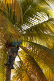 Strong deft man picking coconut. In Guadeloupe stock images