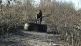 Strong Doberman dog training, running team in the harness with the tire of the car weight pulling 6