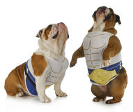 Strong dog. Two english bulldogs wearing muscle shirts looking up stock images