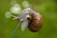 Strong escargot. Close up of a snail creeping above a vertical glass plate, with green background Stock Images