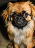 Strong expression on the face of a young Pekingese royalty free stock image