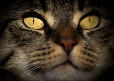 Strong Facial Portrait of Tabby Cat Royalty Free Stock Photography
