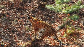 Strong female amur or ussuri tiger is hunting in Primorsky Safari Park, Russia. Strong beautiful female amur or ussuri tiger is hunting in autumn Primorsky stock video footage