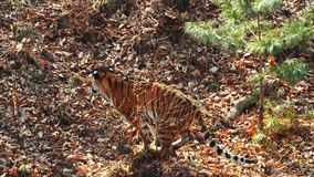Strong female amur or ussuri tiger is hunting in Primorsky Safari Park, Russia. Strong beautiful female amur or ussuri tiger is hunting in autumn Primorsky stock footage
