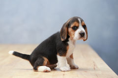 Strong female beagle puppy in action Royalty Free Stock Photos