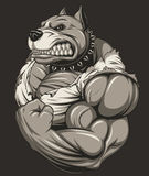 Strong ferocious pitbull. Vector illustration, strong ferocious pit bull, shows a large biceps Royalty Free Stock Photos