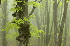 Strong Fog in the Beech Forest. Stock Photos