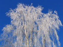 Strong frost. Birch covered by hoarfrost royalty free stock photo