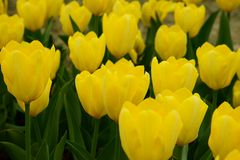 Strong Gold Tulip Stock Images